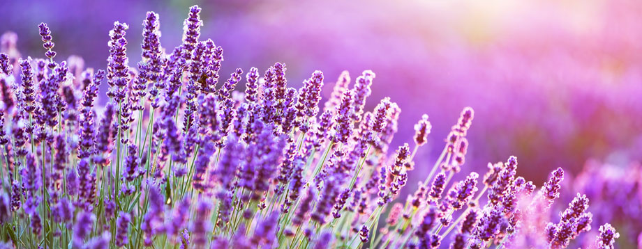 How to Use Lavender Essential Oil: Uses and Benefits